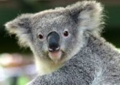 KoalaBear