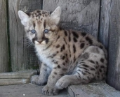 little puma