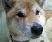 Taro: Japanese Shiba dog
