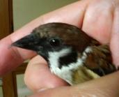 Chunta: sparrow