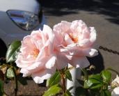 Roses - Pink, Cream