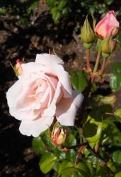 Rose - Pink, Cream