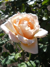 Rose - Yellow, Cream