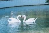 SwansKS67301F566446